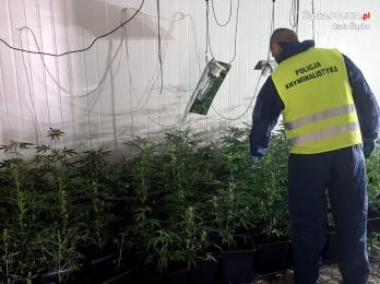 Ruda Śląska: Ogromna plantacja marihuany. Zabezpieczono prawie 400 krzaków konopi