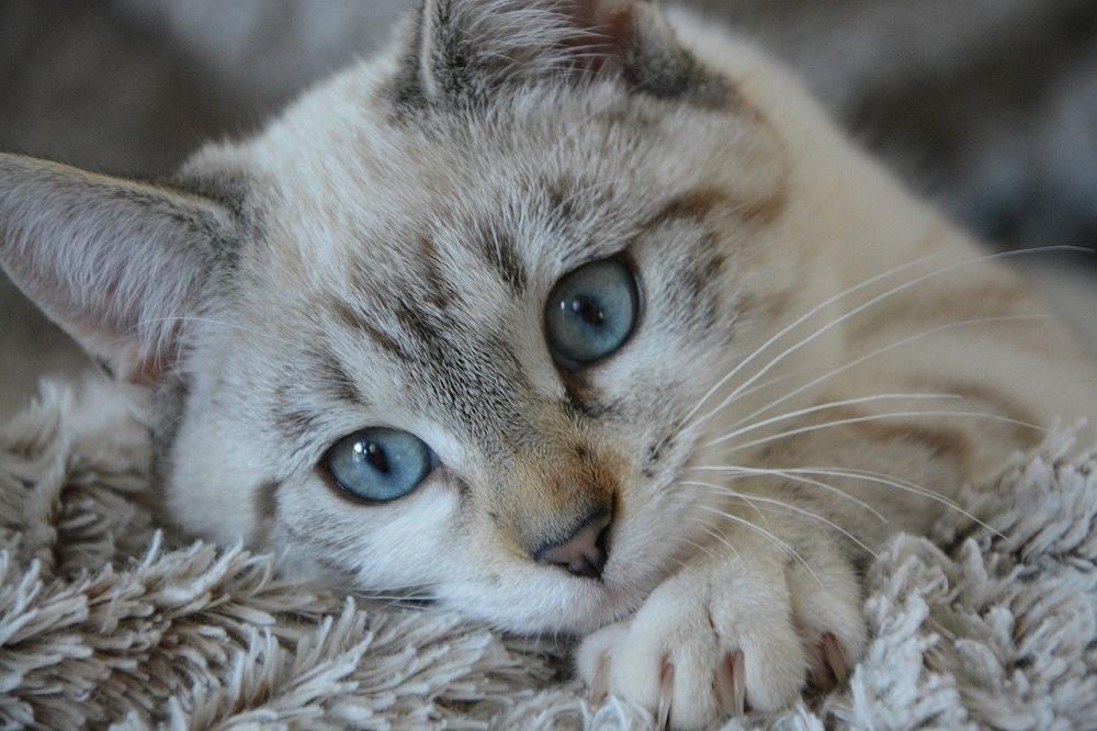 Koty zarażają się COVID-19, śpiąc w łóżku właściciela